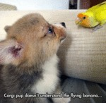 Corgi Pup Doesn't Understand The Flying Banana...