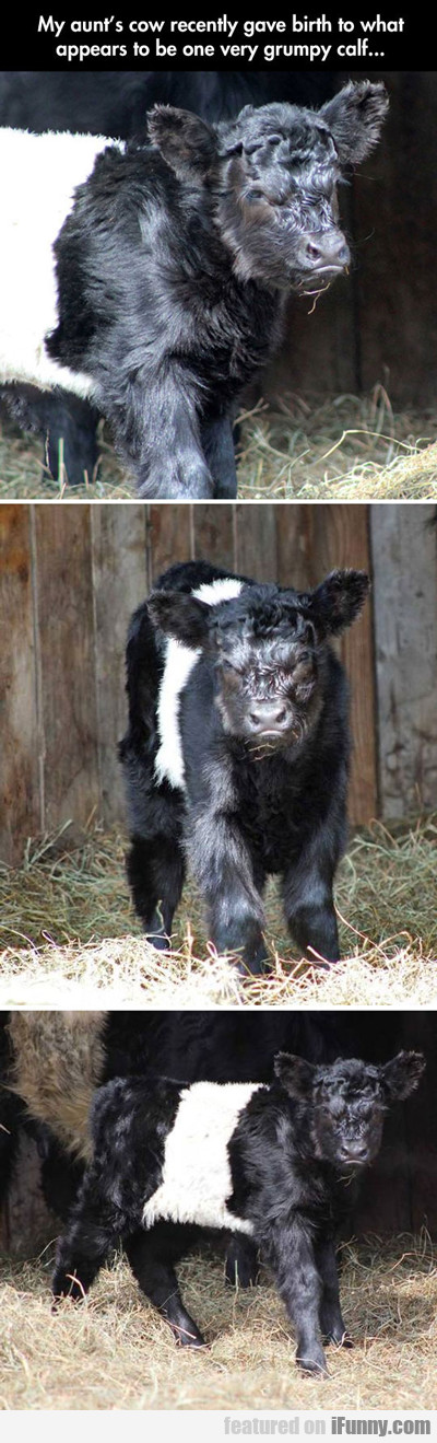 my aunt's cow recently gave birth...