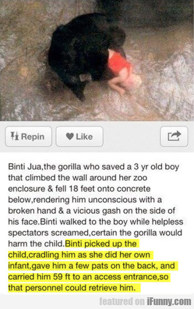 Binti Jua, Gorilal Who Saved A 3 Yr Old