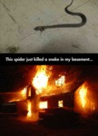 This Spider Just Killed A Snake...