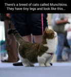 There's A Breed Of Cats Called Munchkins