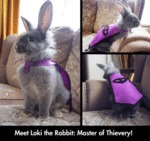 Meet Loki The Rabbit Master Of Thievery