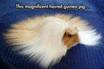 This Magnificent Haired Guinea Pig...