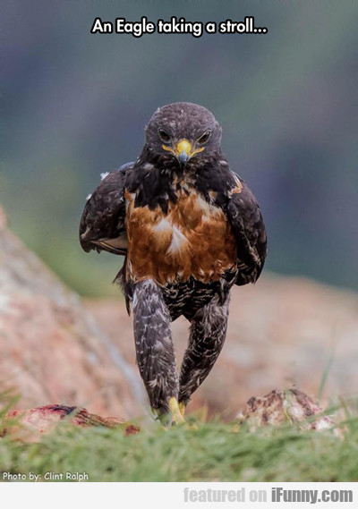 An Eagle Taking A Stroll...