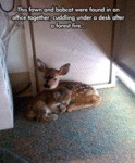 This Fawn And Bobcat Were Found In An Office..