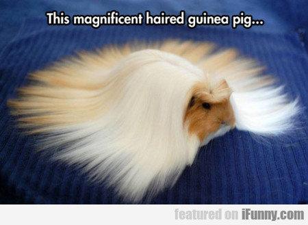 The Magnificient Haired Guinea Pig