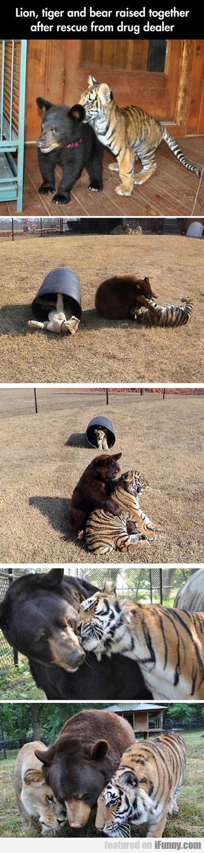 lion, tiger and bear raised together...