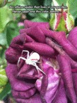 An Albino Spider That Lives In My Garden...