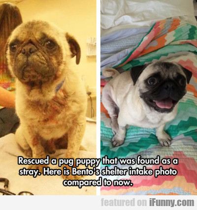 Rescued A Pug Puppy That Was Found As A Stray..