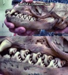 Teeth Of A Crabeater Seal...