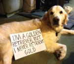 I'm A Golden Retriever But I Never Retrieve Gold