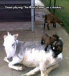Goats Playing The Floor Is Lava With A Donkey...