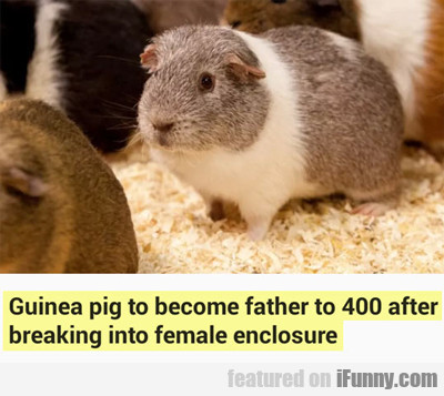 Guinea Pig To Become Father After...