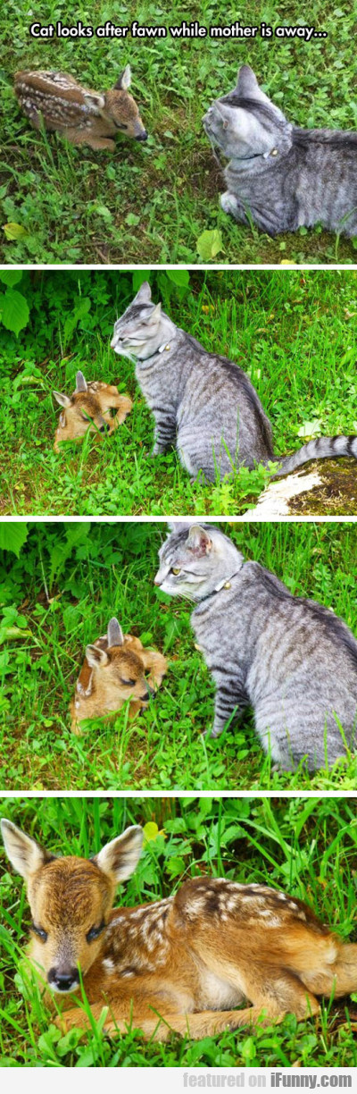 Cat Looks After Fawn While Mother Is Away...