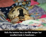 Rafa The Tortoise Has A Terrible Temper But...