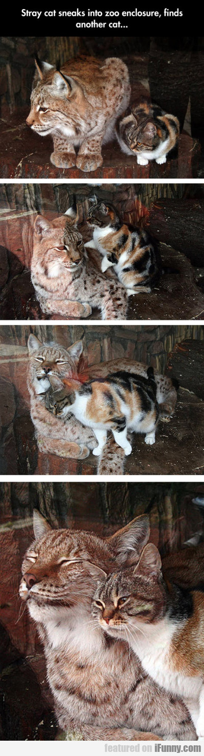Stray Cat Sneaks Into Zoo Enclosure Finds...
