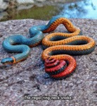 The Regal Ring-neck Snake