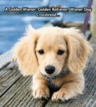 A Golden Wiener - Golden Retriever, Wiener...