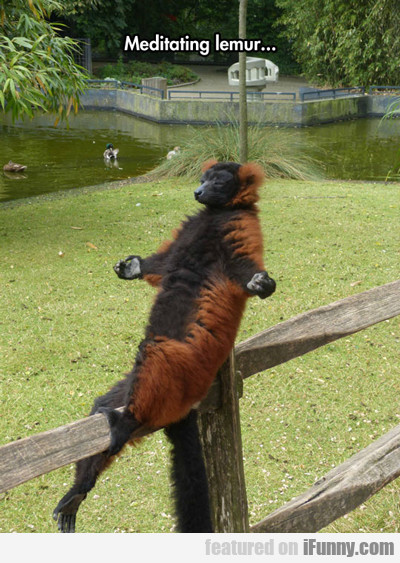 Meditating Lemur...
