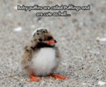 Baby Puffins Are Called Pufflings...