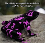 The Critically Endangered Harlequin