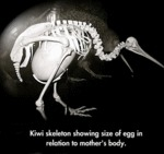 Kiwi Skeleton Showing Size Of Egg...