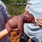 A 1-minute Old Elephant...