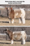 Wanna Know What A Cow Looks Like Washed And..