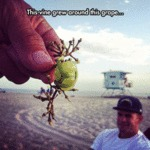 This Vine Grew Around This Grape...