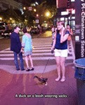 A Duck On A Leash Wearing Socks...