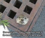How Much Wood Could A Woodchuck Chuck If...