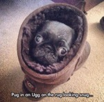 Pug In A Ugg On The Rug Looking Snug...