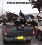 Eagles Are Like Pigeons In Alaska...