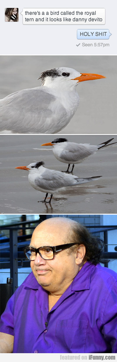 there's a bird called the royal tern that looks...
