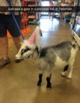 Just Saw A Goat In A Princess Hat At Petsmart...