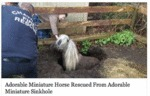 Adorable Miniature Horse Rescued...