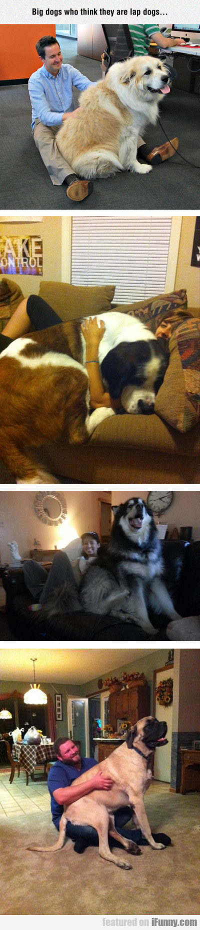 Big Dogs Who Think They Are Lap Dogs