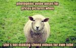 Photogenic Ovine Poses For Pricey Pictures