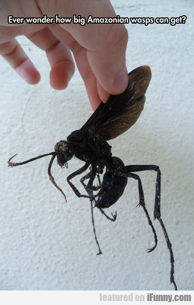 Ever Wonder How Big Amazonian Wasps Can Get?