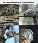 The Japanese Flying Squirrel...