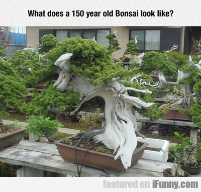 What Does A 150 Year Old Bonsai Tree Look Like?