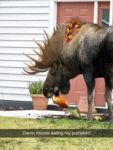 Damn Moose Eating My Pumpkin