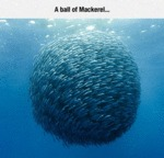 This Is A Ball Of Mackerel...