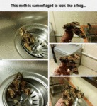 This Moth Is Camouflaged O Look Like A Frog....