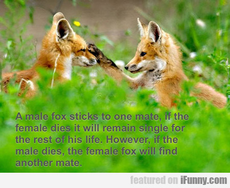 A Male Fox Sticks To One Mate...