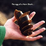 The Egg Of A Horn Shark...