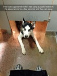 This Husky Appeared While I Was Using A Public...