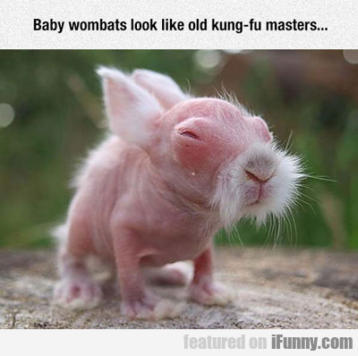 Baby Wombats Look Like Old Kung Fu Masters...