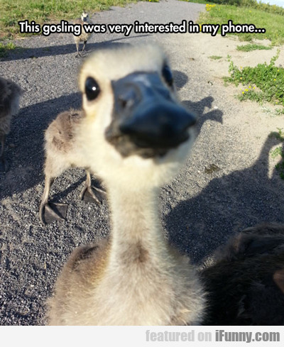 this gosling was very interested in my phone...