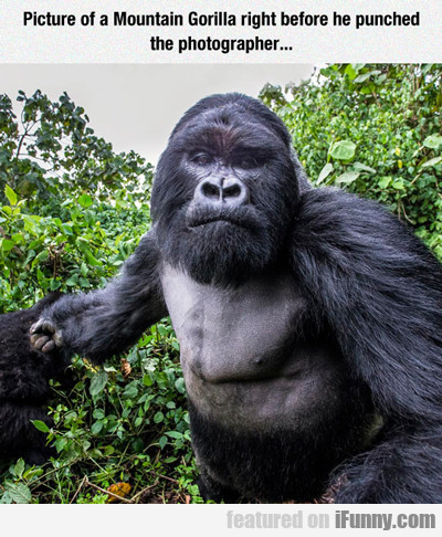 Picture Of A Mountain Gorilla...